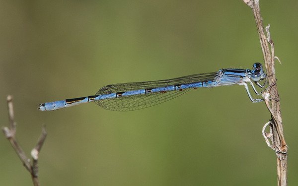 Double-stipred Bluet (Enallagma basidens)